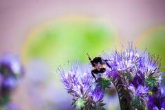 Die Hummel, die auf einer Blume sitzt und sammelt Nektar Lizenzfreies Stockfoto
