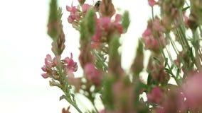 Die Hummel, die über rosa Purpur fliegt, blüht Wildflowers stock footage