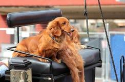 Die Hunde, die auf ein Pferd fahren, führten Wagen stockbilder