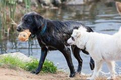 Die Hunde, die auf Küste eines Reservoirs spielen Stockfotografie