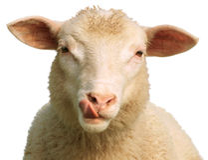 Die hungrigen Schafe Stockfoto