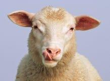 Die hungrigen Schafe Stockfotos