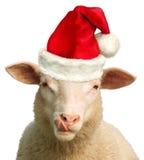 Die hungrigen Weihnachtsschafe Lizenzfreies Stockfoto