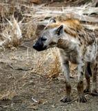 Die Hyäne, die auf ihm schläft, ist Füße. Lizenzfreie Stockbilder