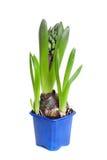 Die Hyazinthe in einem blauen Topf Lizenzfreie Stockfotos