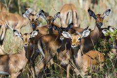 Die Impala lizenzfreie stockfotos