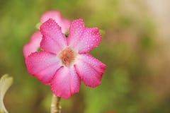 Die Impala-Lilienblume lizenzfreie stockfotos