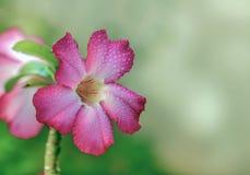 Die Impala-Lilienblume stockfoto