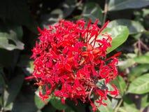 die indische Blume Stockbilder