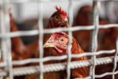 Die inländischen Hühner Stockbild