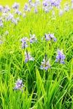 Die Iris in der Blüte Stockfotografie