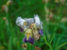 Die Irisblume nach Regen im Sommer Stockbilder