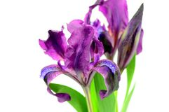 Die Irisblumen Stockbild