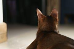 Die junge abyssinische Katze, die auf dem Boden sitzt, schoss von der Rückseite Stockfotografie