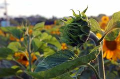 Die junge Sonnenblume Stockfotografie