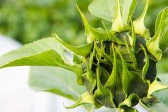 Die junge Sonnenblume hat nicht noch geblüht Lizenzfreie Stockfotografie