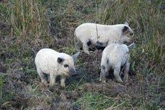 Die Junge von mangalitsa Schwein Stockbild