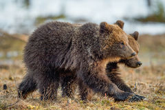 Die Jungen des Braunbären lizenzfreies stockfoto
