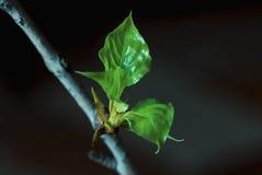 Die jungen Grünblätter auf einer Niederlassung stockbilder