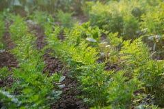 Die jungen Karotten, die in einem angehobenen Gemüsegarten wachsen, gehen zu Bett Stockfotografie
