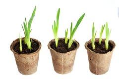 Die Jungpflanze wächst von einem fruchtbaren Boden Lizenzfreie Stockbilder
