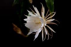 Die Königin der Nacht-Epiphyllum-oxypetalum Kaktuspflanze, Nacht, die, mit dem Bezaubern, bewitchingly wohlriechend blüht, lizenzfreie stockfotografie