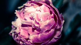 Die königliche Blume ist eine zarte rosa Drop-Down-Knospe einer Pfingstrose stockfotos