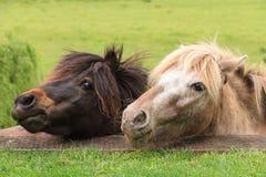 Die Köpfe von zwei Miniaturpferden, blickend über einer Terrasse Stockbild