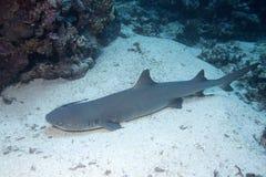 Die köstlich der Unterwasserfisch in Australien, dieser Fisch ist sehr fruchtig aber Blicke Lizenzfreie Stockbilder