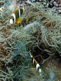 Die köstlich der Unterwasserfisch in Australien, dieser Fisch ist sehr fruchtig aber Blicke Stockfotos