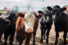 Die Kühe Stockfotografie