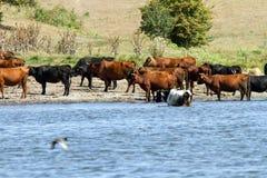 Die Kühe in dem Fluss Stockbild