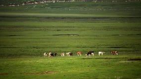 Die Kühe im Sumpfgebiet lizenzfreie stockbilder