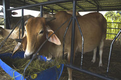 Die Kühe werden Viehbestand eingezogen Stockfoto