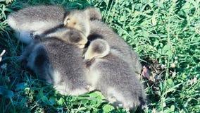 Die Küken des Schwans schlafend im grünen Gras morgens stockfotos