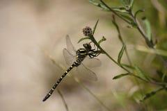 Die Kaiserlibelle (Anax-imperator) ist große Spezies der Straßenverkäuferlibelle der Familie Aeshnidae Stockfotos