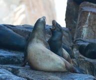 Die Kalifornischen Seelöwen, die an der Seelöwenkolonie kämpfen, schaukeln an den Ländern beenden in Cabo San Lucas Baja Mexiko Lizenzfreie Stockfotos