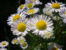 Die Kamillenblumen stockfotografie