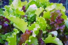 Die Kante des purpurroten und grünen Kopfsalates Lizenzfreie Stockbilder