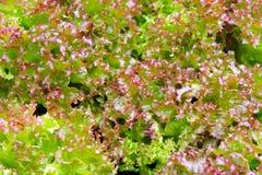Die Kante des purpurroten und grünen Kopfsalates stockfoto