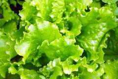 Die Kante des purpurroten und grünen Kopfsalates Stockbild
