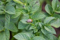 Die Kartoffelkäfer-Insektenplagen, die Kartoffeln Gemüse blühen, blüht und arbeitet Vegetation im Garten stockfoto