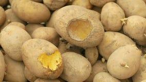 Die Kartoffeln und Kartoffel, die verdorben werden und Verlustlagermaus und -mäuse beißen, die Plage der gespeicherten Gemüsenahr stock video