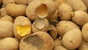 Die Kartoffeln und Kartoffel, die verdorben werden und Verlustlagermaus und -mäuse beißen, die Plage der gespeicherten Gemüsenahr stock video footage