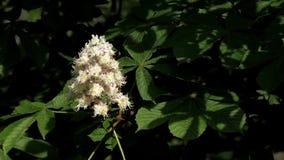 Die Kastanien-Blüten im Garten stock footage