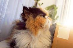 Die Katze der persischen Zucht an einem Fenster in einem Sonnenlicht schaut oben Stockbilder