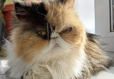 Die Katze der persischen Zucht sitzt auf einem Fensterbrett Lizenzfreie Stockfotografie