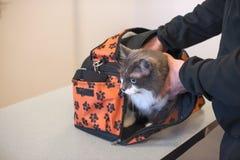 Die Katze in der Tragetasche und in den Händen Kopieren Sie Platz lizenzfreies stockbild