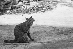 Die Katze, die mit dem breiten Mund gähnt, öffnen und zeigen Reißzähne Lizenzfreies Stockfoto