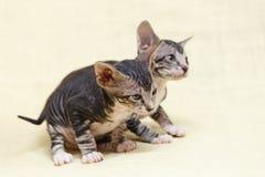 Die Katze Donskoy Sphynx lizenzfreies stockbild